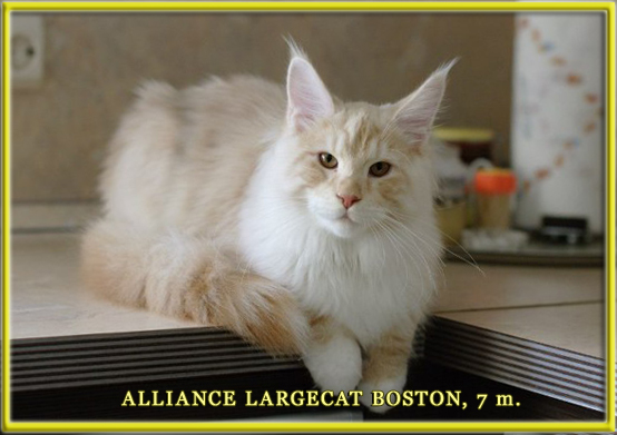 ALLIANCE LARGECAT BOSTON (кастрат)